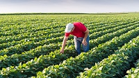 farmer in soybean fields
